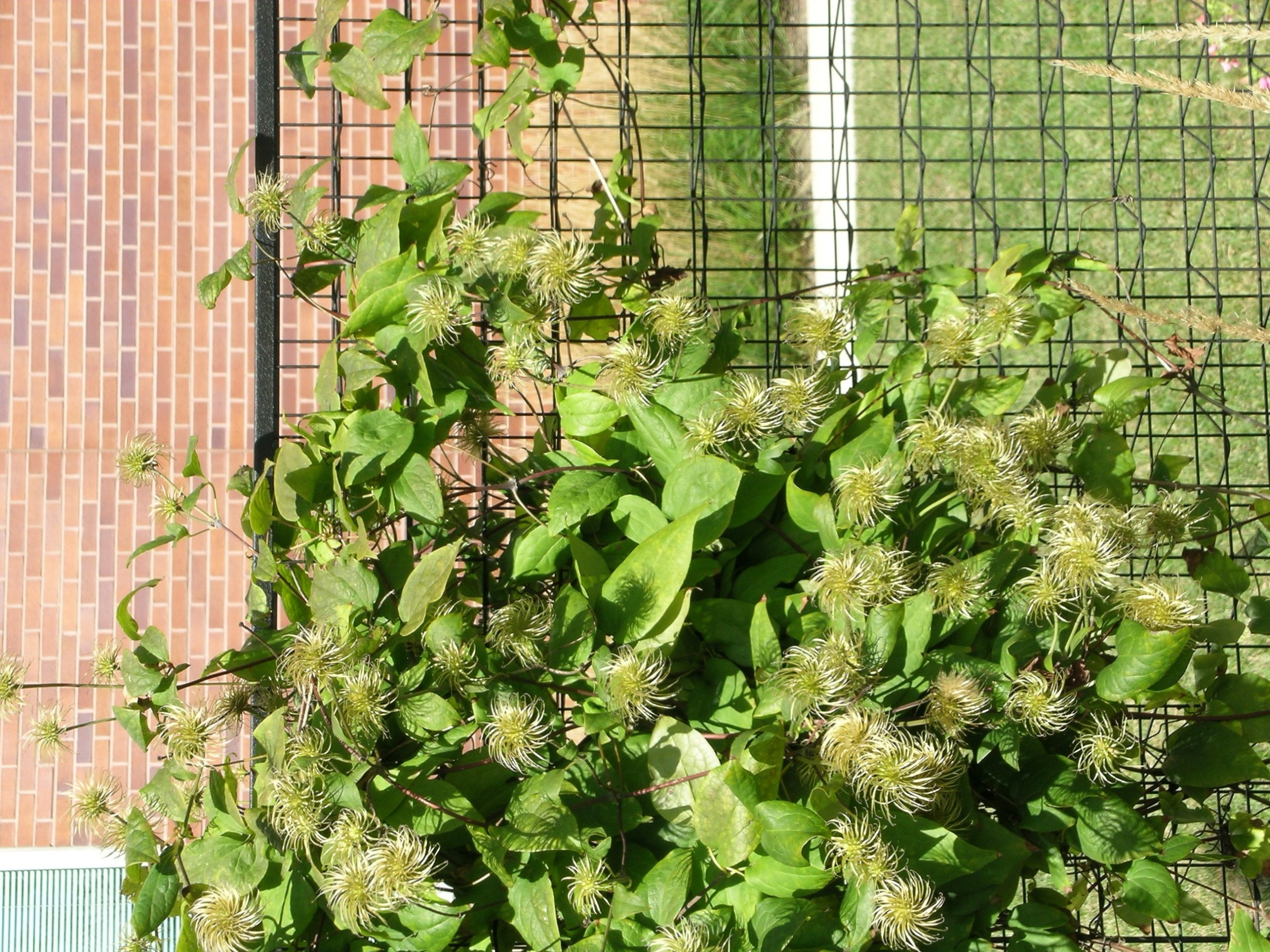 Clematis Red Cross
